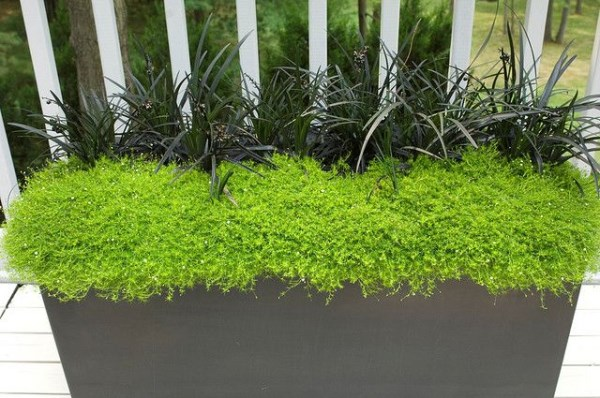 outdoor plant-Black Mondo Grass Elevated from the Ground in Very Beautiful Container with Scotch Moss