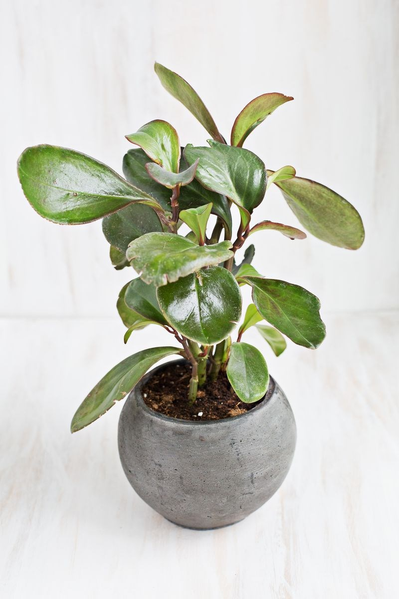 Potted Baby Rubber Plant
