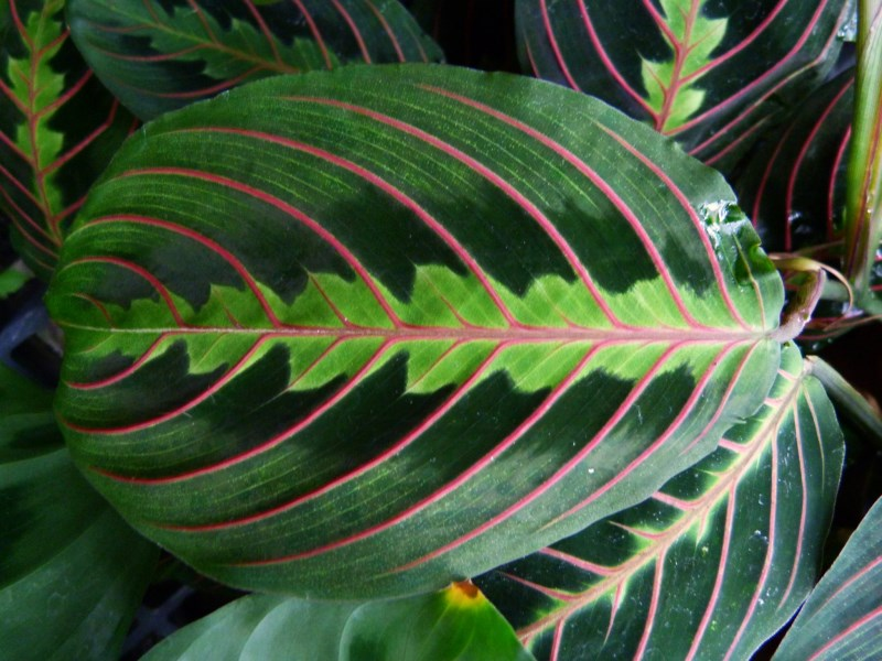 Vibrant and Beautiful Prayer Plant Leaf