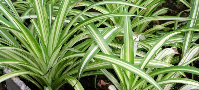 Long Stripped Spider Plant Leaves
