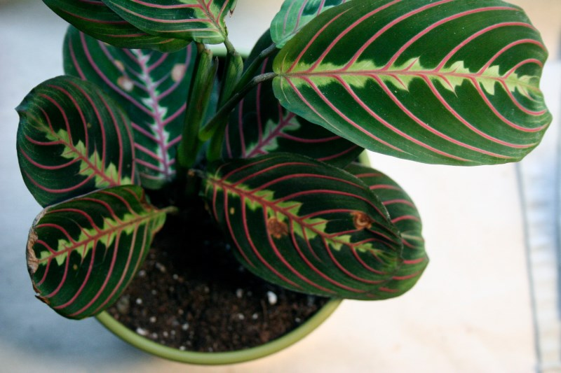 Vibrant Leaves of the Prayer Plant