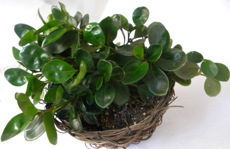 Voluptous Green Baby Rubber Plant