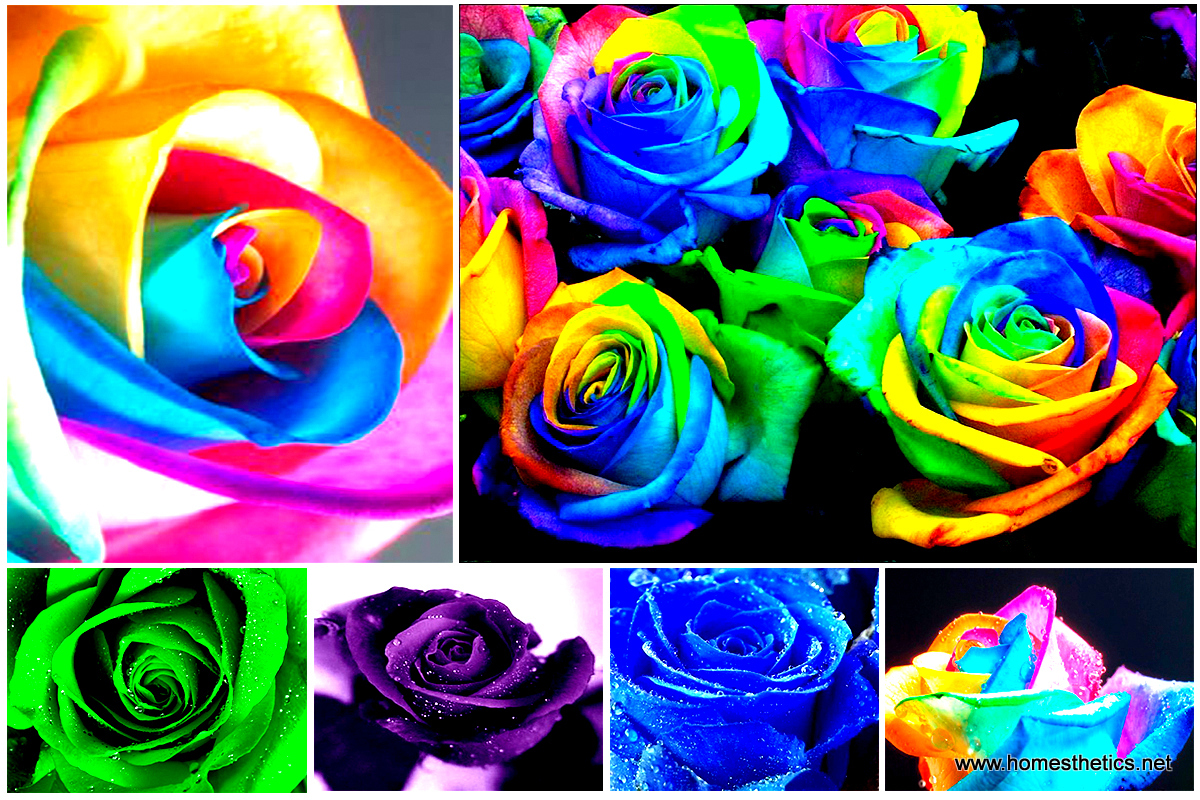 Learn how to make simple colored and rainbow roses for How to color roses rainbow