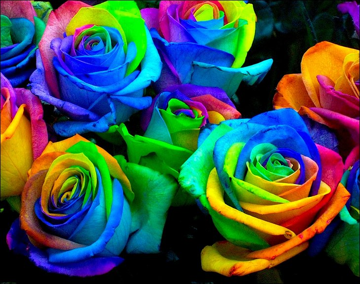 Rainbow Roses MULTI COLORED ROSES