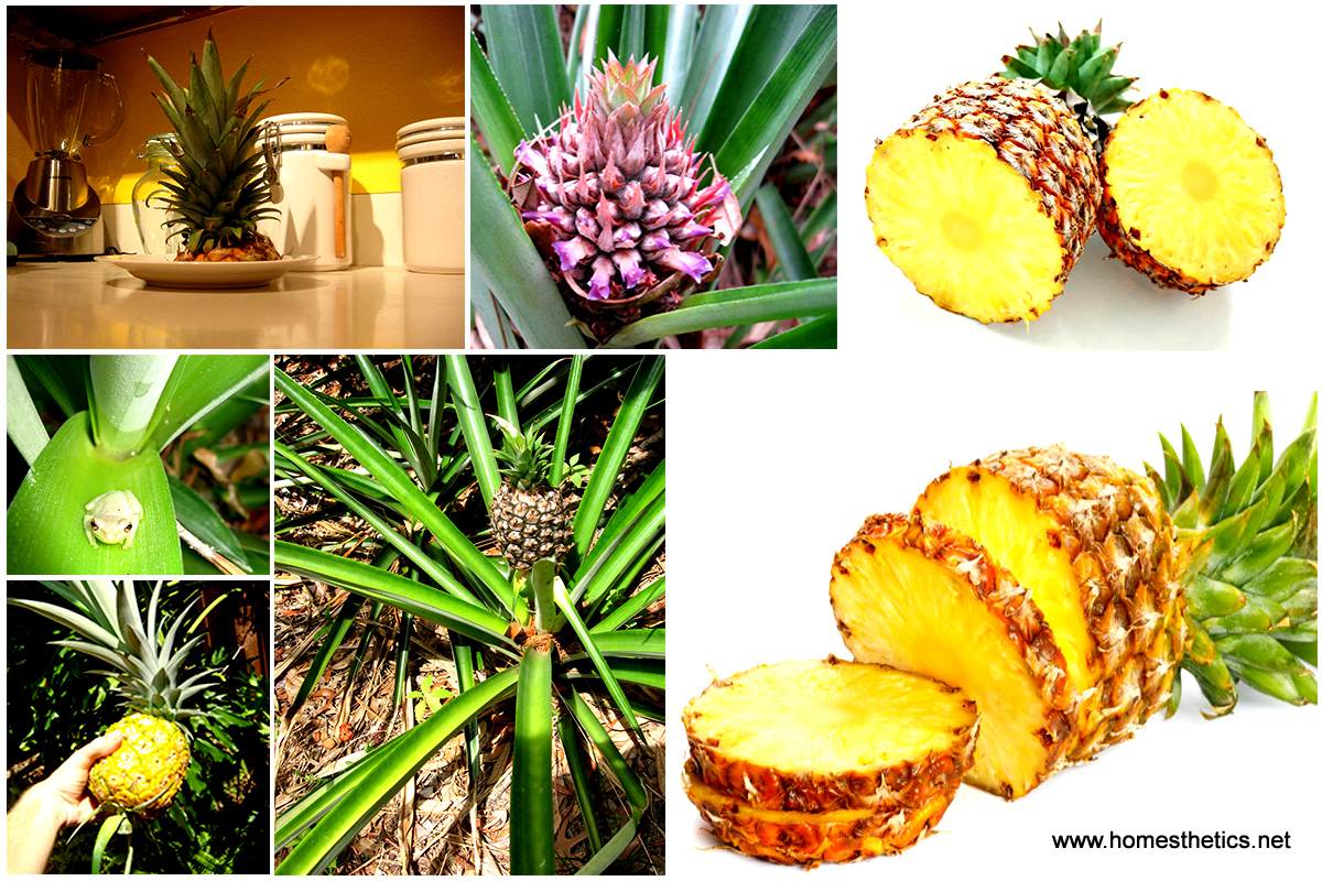 1 Learn How To Grow a Pineapple in Your Backyard or Flower PotDetailed Guide Video 111