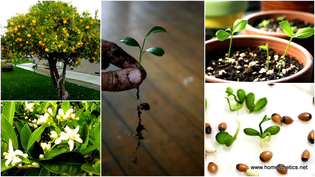 Grow your own lemon tree out of store bought lemons in 11 for Planting lemon seeds for smell
