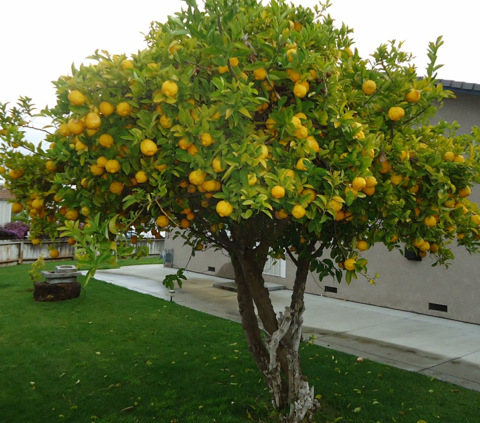 Grow Your Own Lemon Tree Out Of Store Bought Lemons In 11 Easy Steps-homesthetics (1)