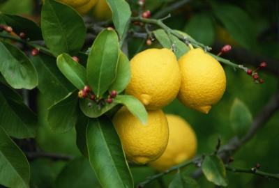 Grow Your Own Lemon Tree Out Of Store Bought Lemons In 11 Easy Steps-homesthetics (14)
