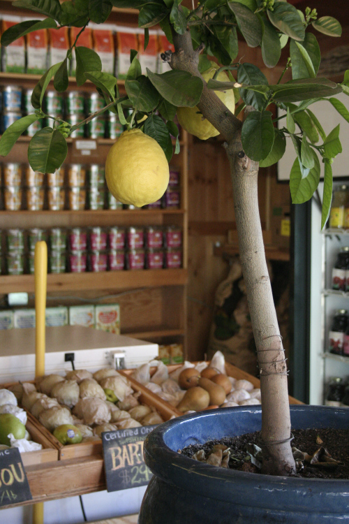 Grow Your Own Lemon Tree Out Of Store Bought Lemons In 11 Easy Steps-homesthetics (16)