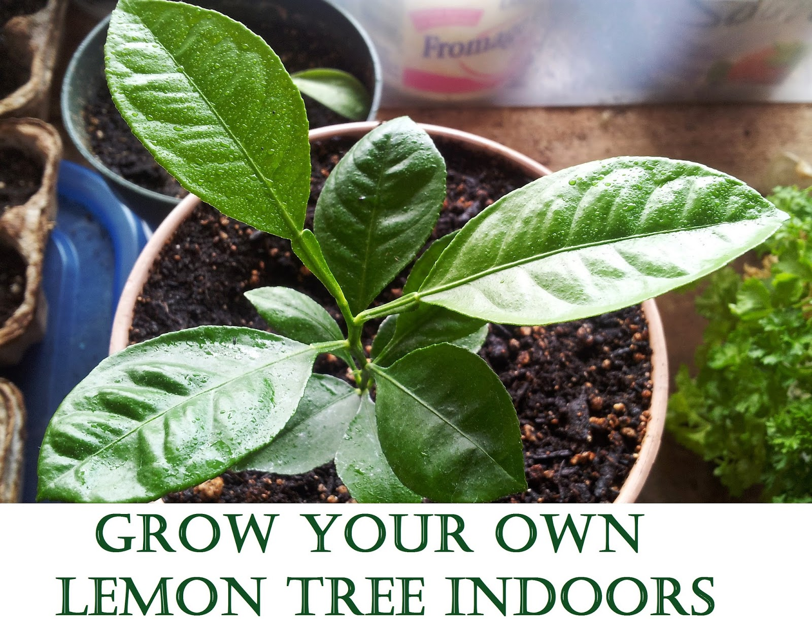 Grow Your Own Lemon Tree Out Of Store Bought Lemons In 11 Easy Steps-homesthetics (17)