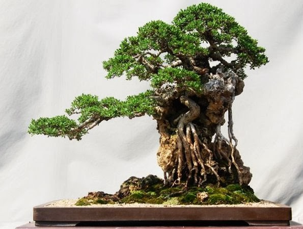The most beautiful and unique bonsai trees in the world for Rare bonsai species