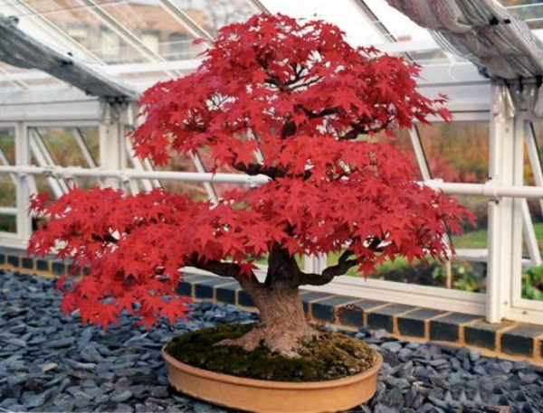 The Most Beautiful And Unique Bonsai Trees In The World-homesthetics (10)