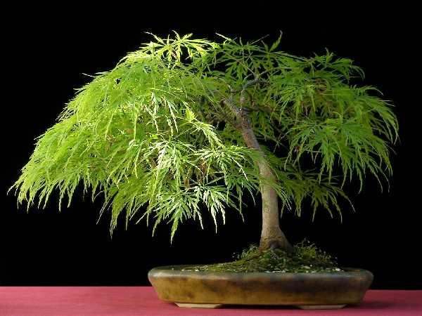 The Most Beautiful And Unique Bonsai Trees In The World-homesthetics (11)
