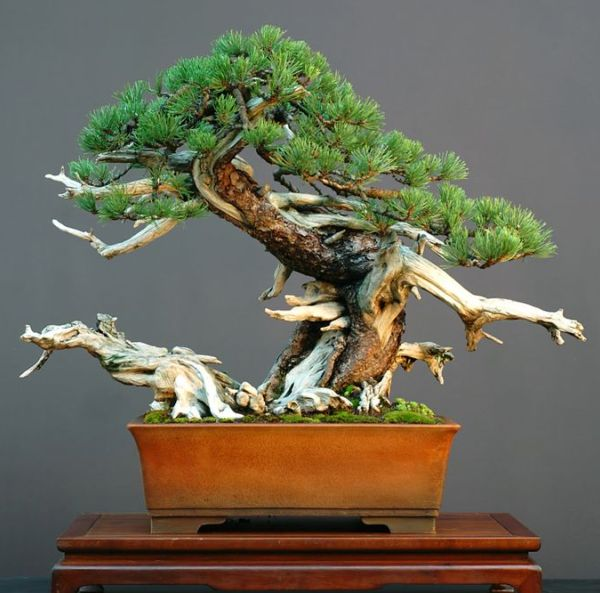The Most Beautiful And Unique Bonsai Trees In The World-homesthetics (12)