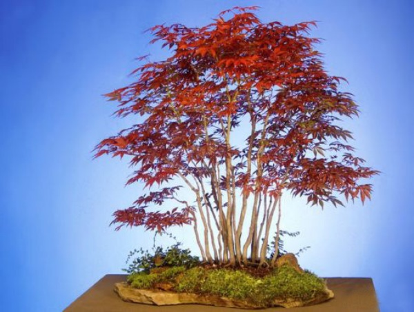 The Most Beautiful And Unique Bonsai Trees In The World-homesthetics (13)