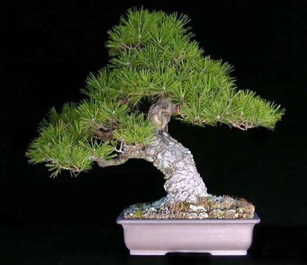 The Most Beautiful And Unique Bonsai Trees In The World-homesthetics (16)