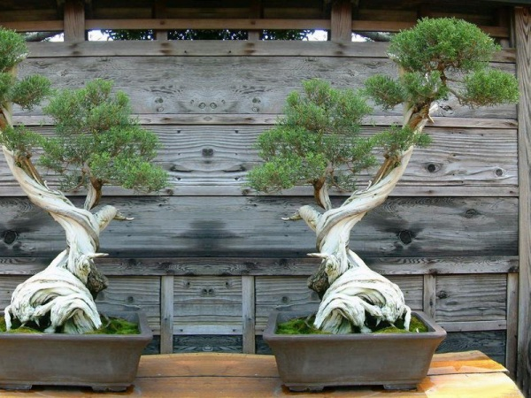 The Most Beautiful And Unique Bonsai Trees In The World-homesthetics (17)