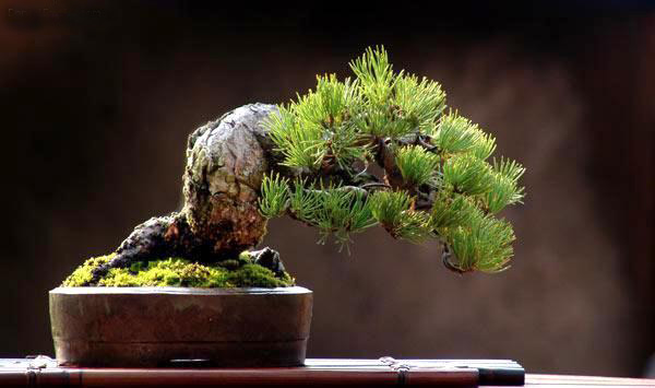 The Most Beautiful And Unique Bonsai Trees In The World-homesthetics (18)