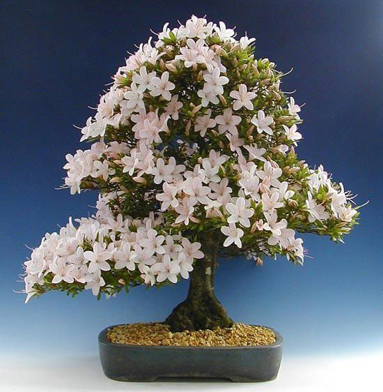 The Most Beautiful And Unique Bonsai Trees In The World-homesthetics (19)