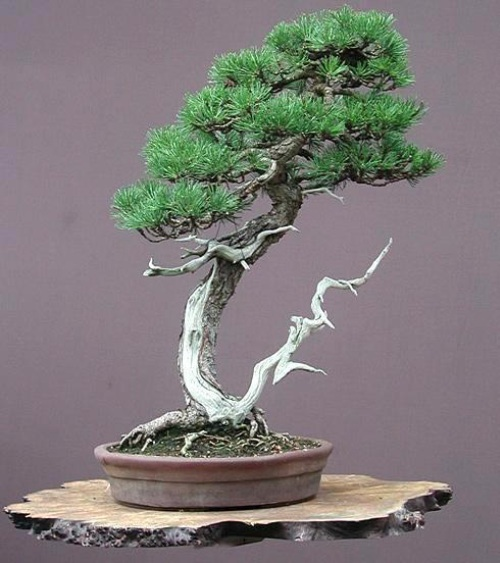 The Most Beautiful And Unique Bonsai Trees In The World-homesthetics (23)