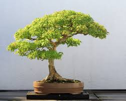 The Most Beautiful And Unique Bonsai Trees In The World-homesthetics (25)