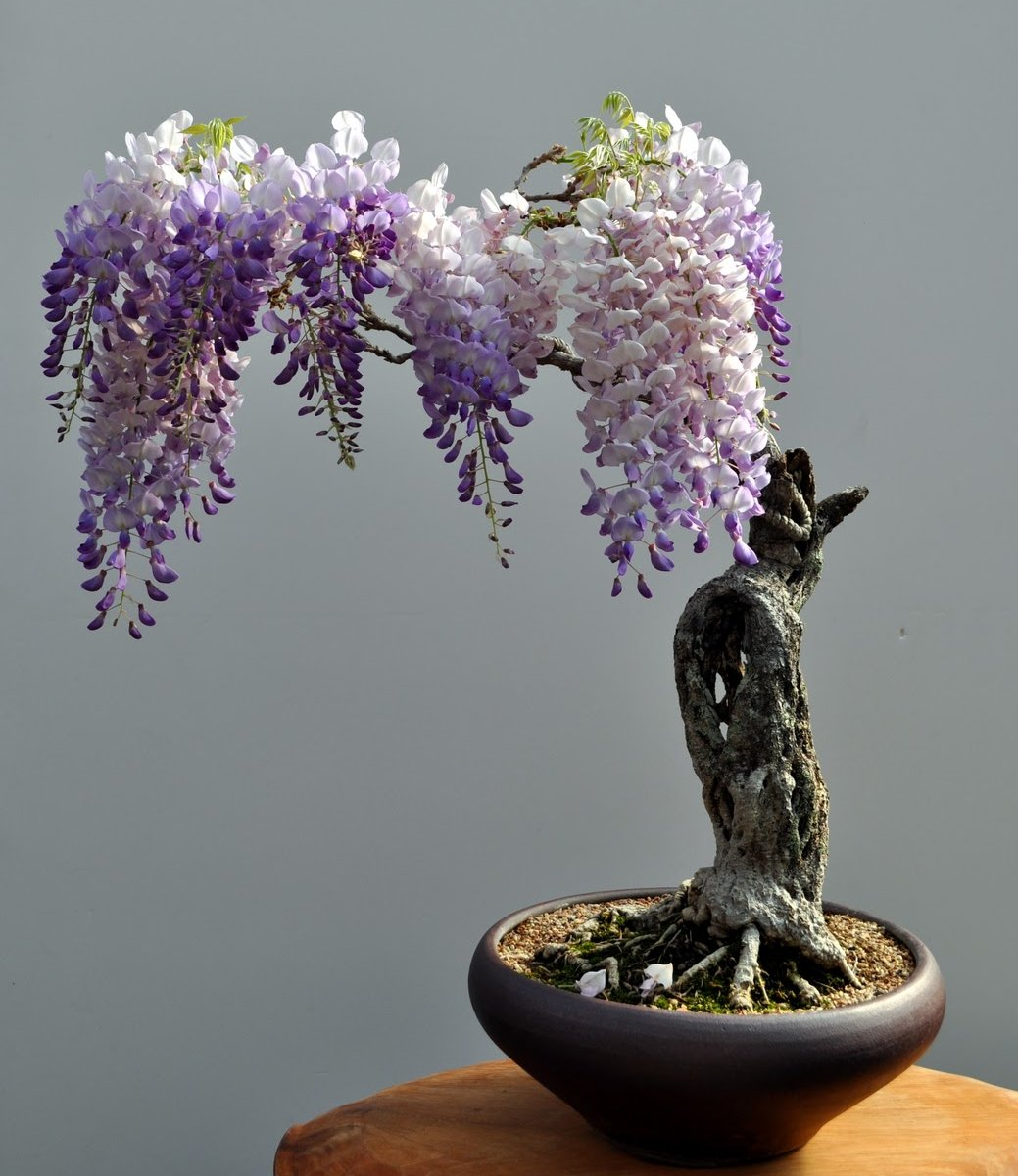 The Most Beautiful And Unique Bonsai Trees In The World-homesthetics (40)