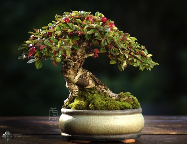 The Most Beautiful And Unique Bonsai Trees In The World-homesthetics (42)