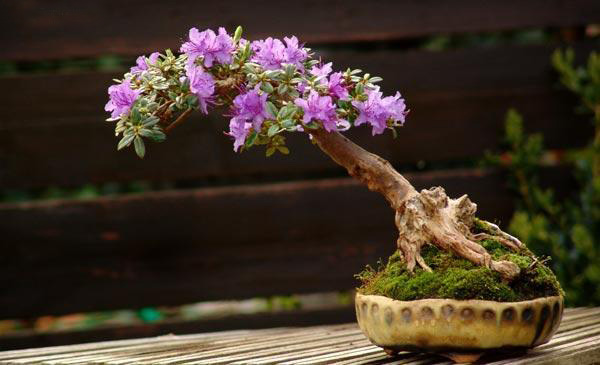 The Most Beautiful And Unique Bonsai Trees In The World-homesthetics (7)