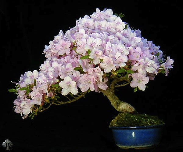 flowering-bonsai-wolfgang-beautiful bonsai