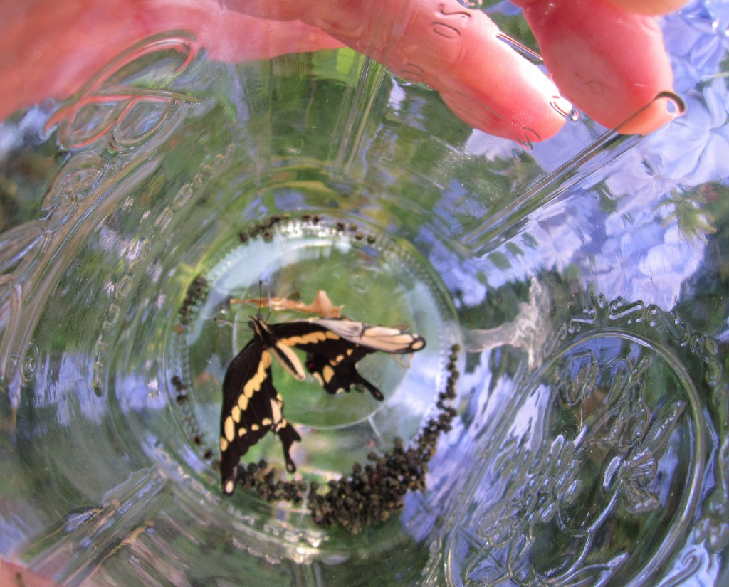 DIY Mason Jar BUTTERFLY HOME