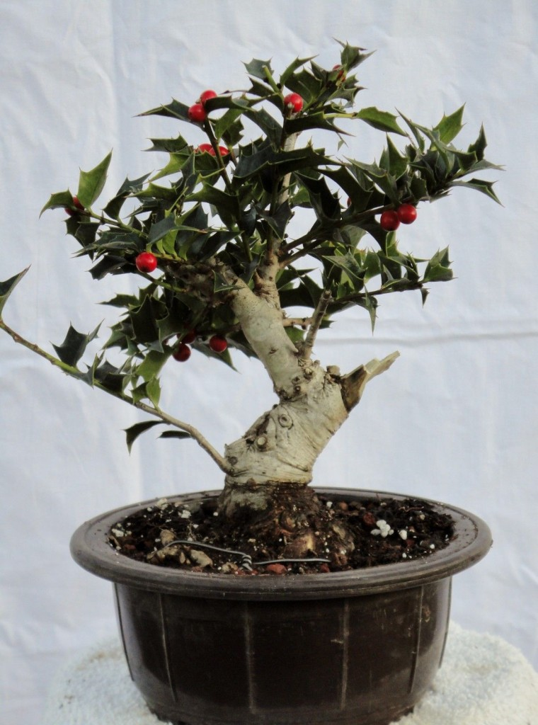 15 miniature plants that will enlarge your decor bonsai trees for Holly tree bonsai