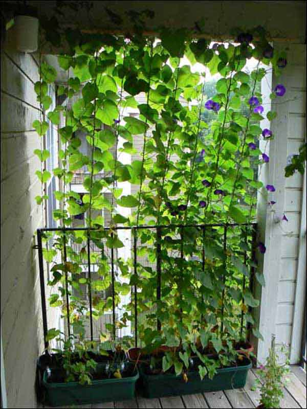 15. IMMENSE BEAUTY MATERIALIZED BY CLIMBING PLANTS IN A BALCONY