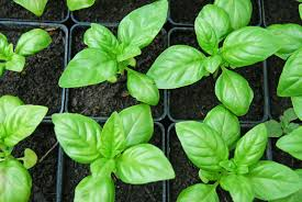 Improve Your Outdoors Experience With Mosquito Repelling Plants-homesthetics.net (11)