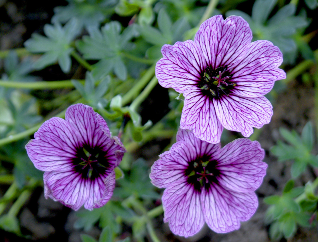Improve Your Outdoors Experience With Mosquito Repelling Plants-homesthetics.net (4)