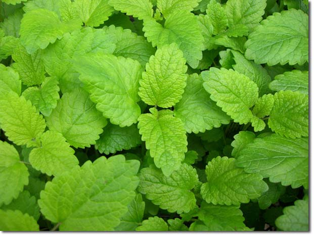 Improve Your Outdoors Experience With Mosquito Repelling Plants-homesthetics.net (7)