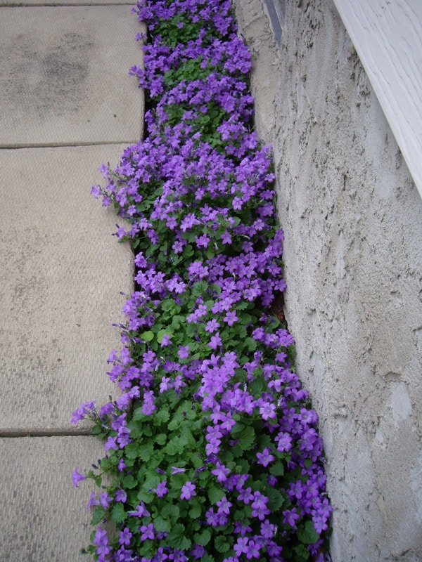 cover the ground with small flowers, Campanula portenschlagiana