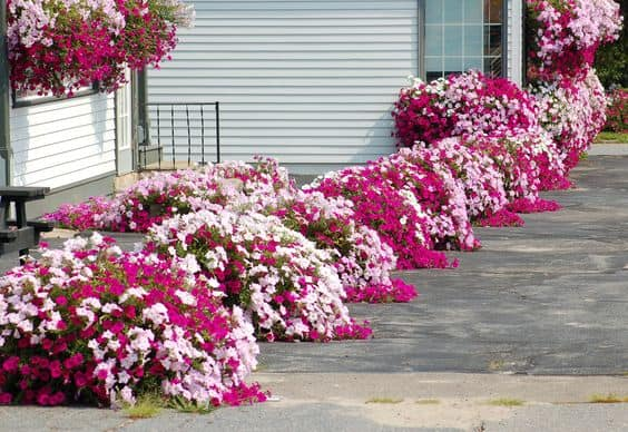 ROWS OF PETUNIAS in backyard garden