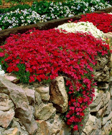 red and white mpss phlox small flowers