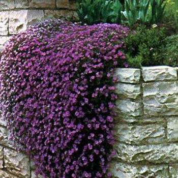 Rock cress cascading Aubrieta purple flower for small flower garden