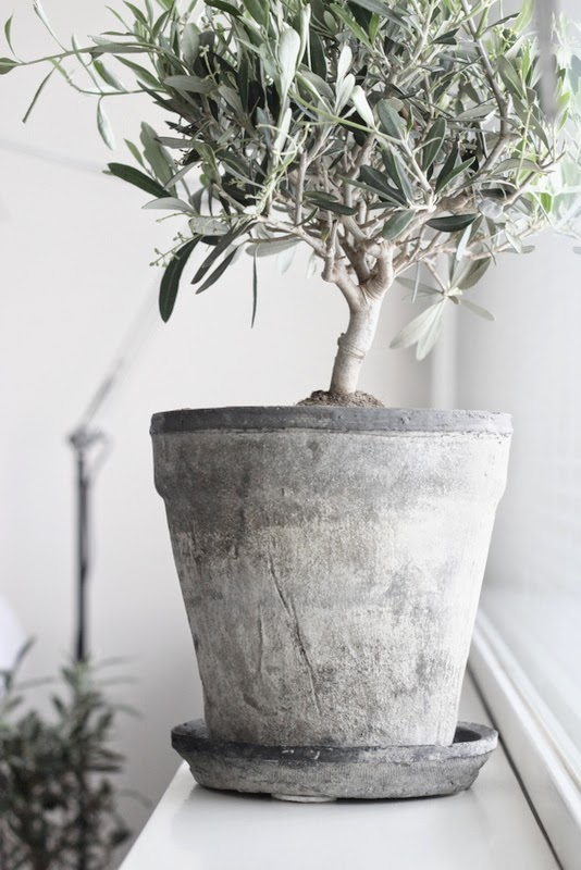 Contrast Between The Stone Pot And Olive Tree