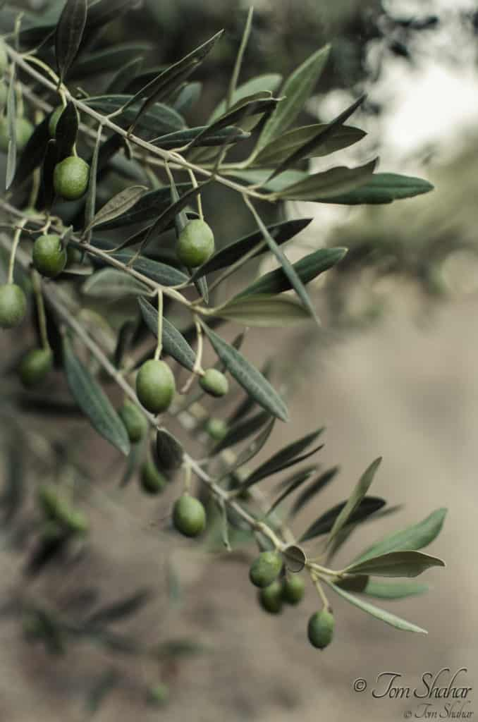 Guide To Growing Olive Trees Indoors-homesthetics (33)