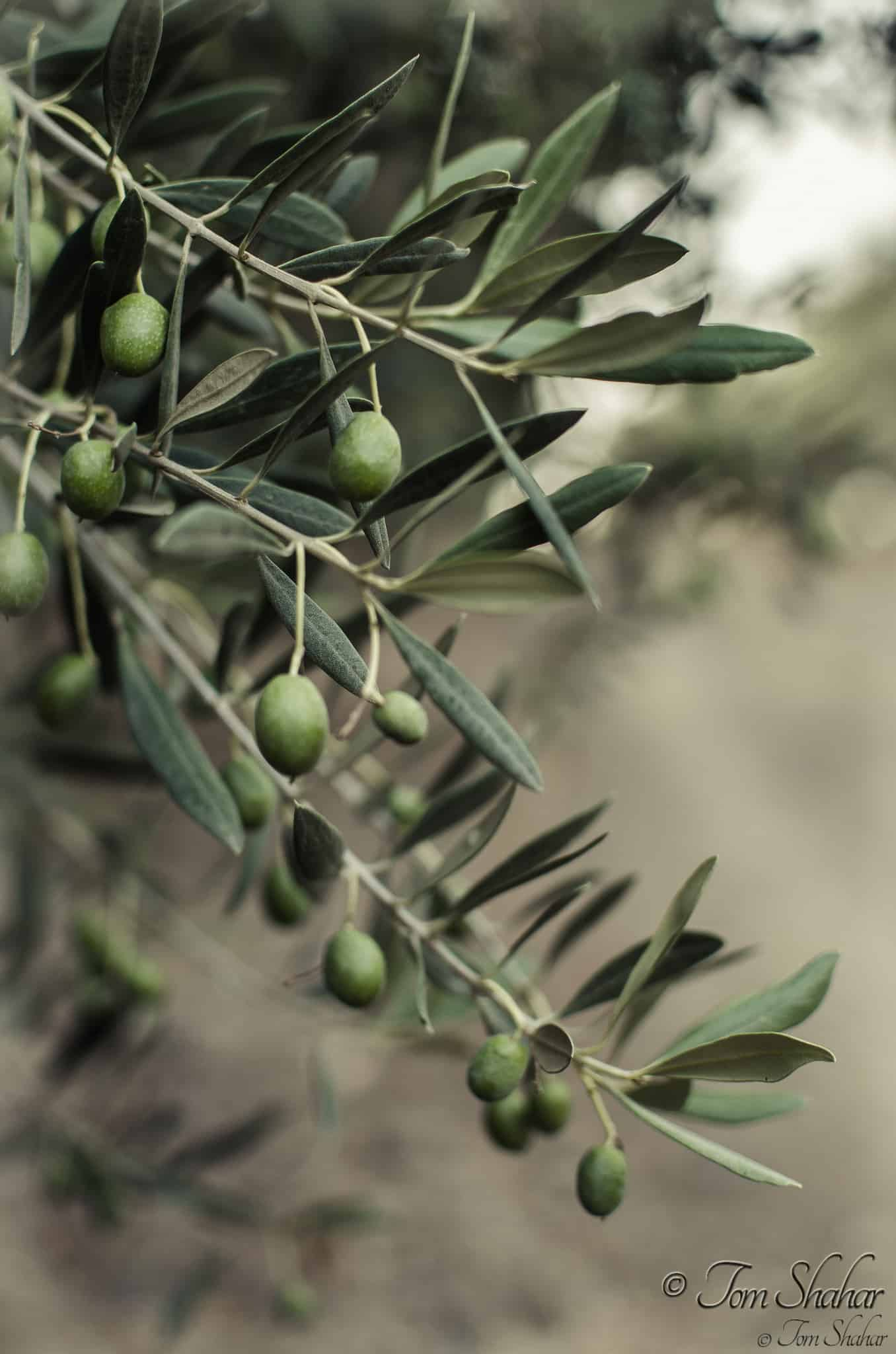 Guide to growing olive trees indoors homesthetics for What to plant under olive trees