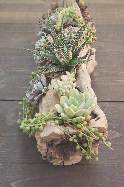 THE DELICACY OF DRIFTWOOD CAN BE COMPLETED WITH THE FRAGILITY OF SUCCULENTS