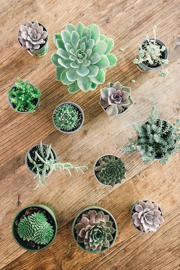 USE SMALL RECIPIENTS FOR DIFFERENT SUCCULENTS AND MERGE THEM INTO AN ARRANGEMENT