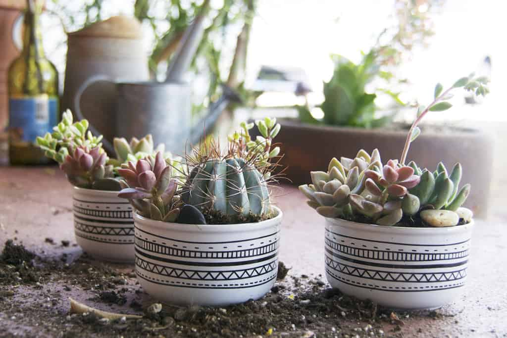 CREATE SUCCULENT ARRANGEMENTS USING BLACK AND WHITE FLOWER POTS