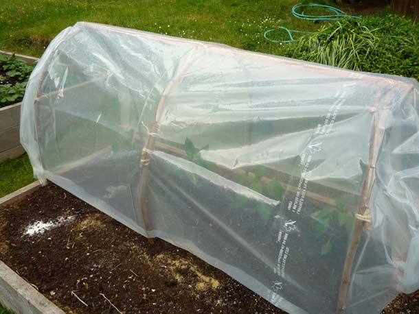 MAKE AN INSTANT CLOCHE TO PROTECT YOUR SEEDLINGS