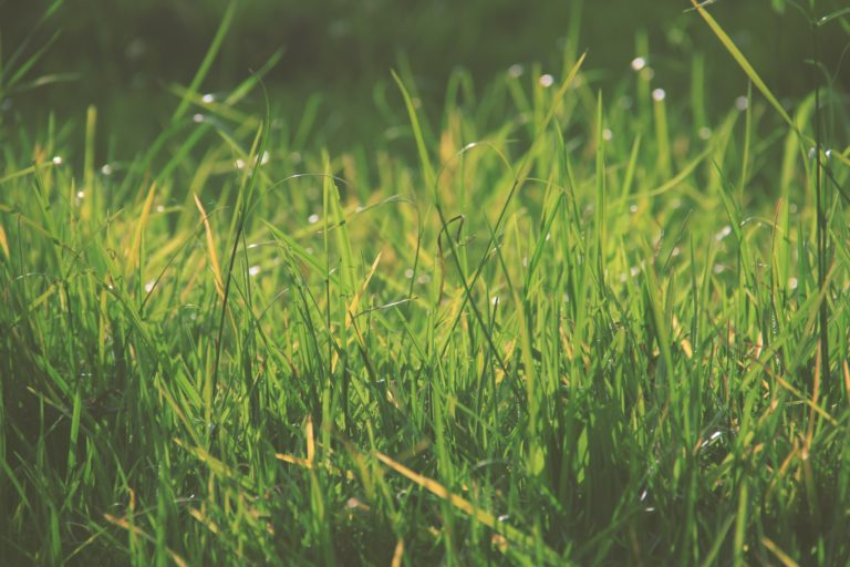 Where to Find Good St. Augustine Grass Seed How to Grow It