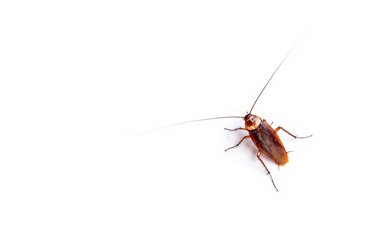 The top view cockroach thailand isolated on white background, copy space.