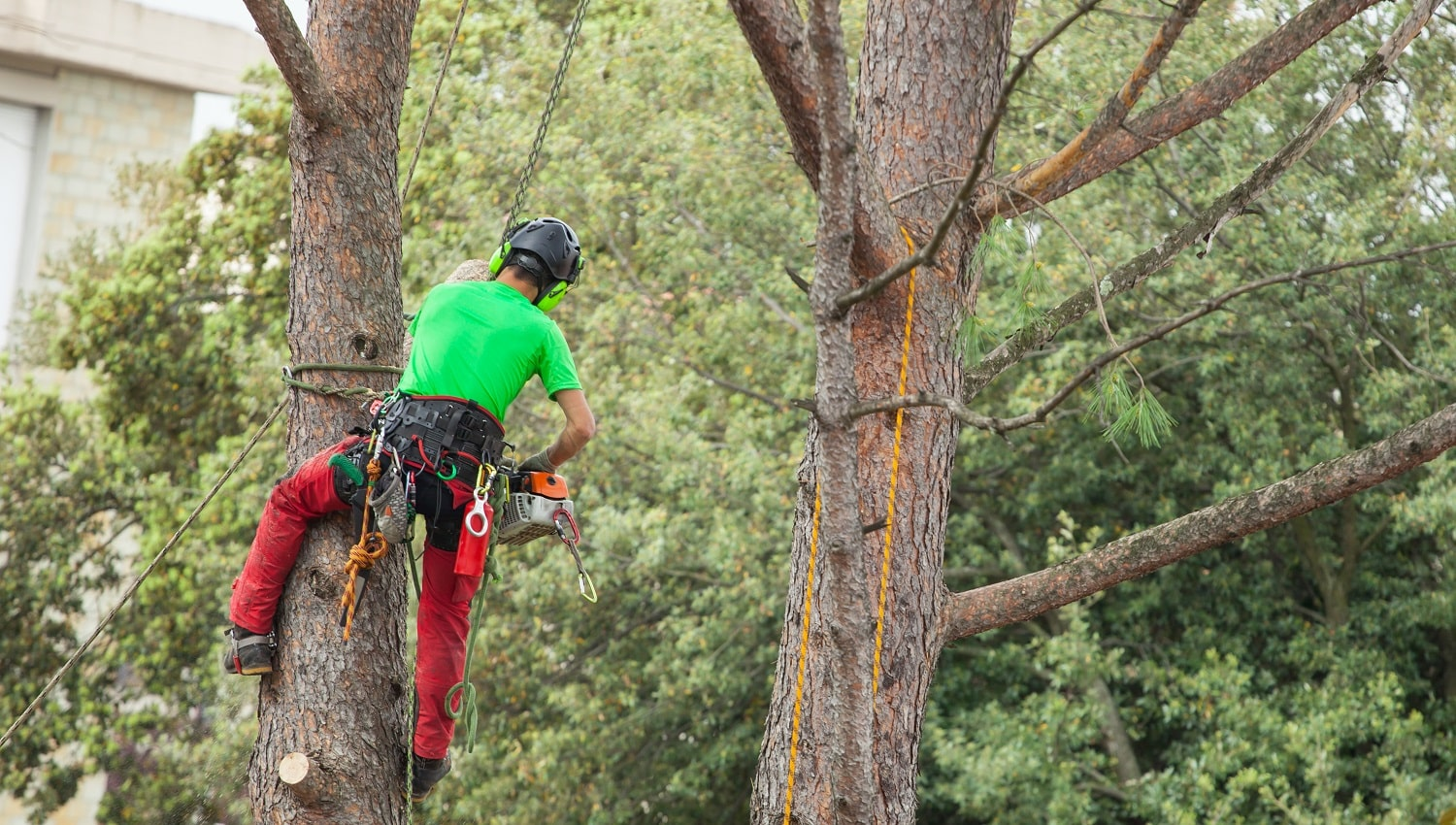 Man with safety equipment and chainsaw pruning pine tree.