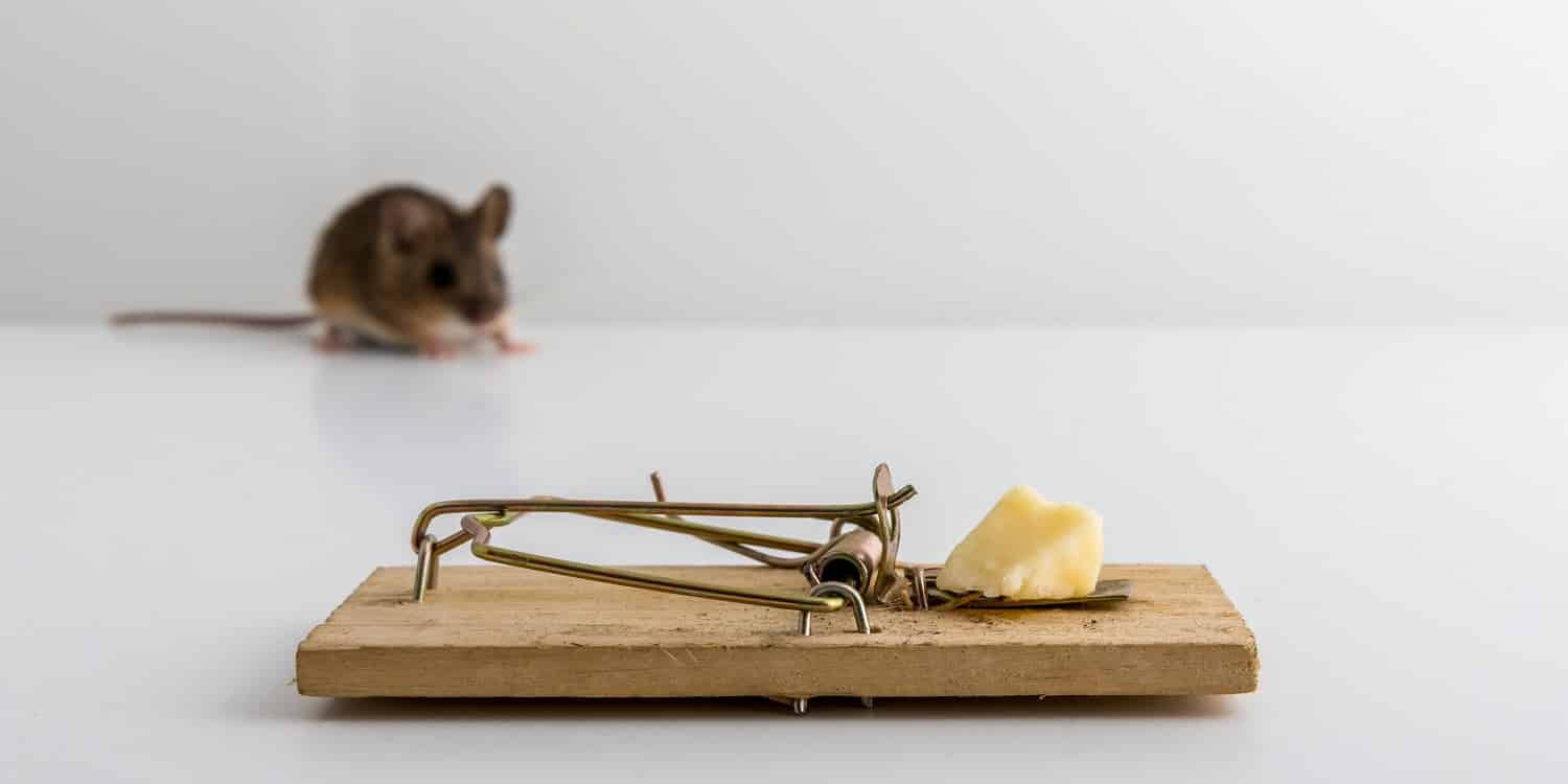 Mouse trap with cheese bait, and a small wood mouse, Apodemus sylvaticus, out of focus in the back, light background